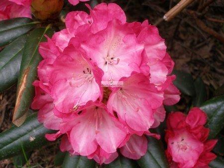 Różanecznik Fantastica (rhododendron)