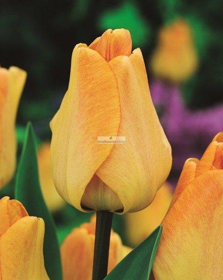 Tulipan Mieszaniec Darwina Daydream (5 szt.) (Tulip)