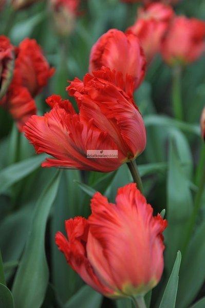 Tulipan Papuzi Exotic Parrot (3 szt.) (Tulip)