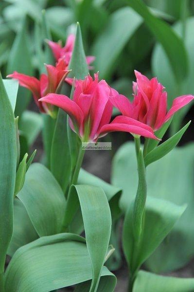 Tulipan egzotyczny Doll's Minuet (5 szt.) (Tulip)