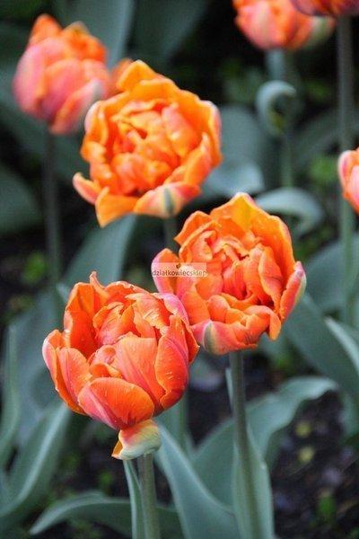 Tulipan pełny-późny Orange Princess (5 szt.) (Tulip)