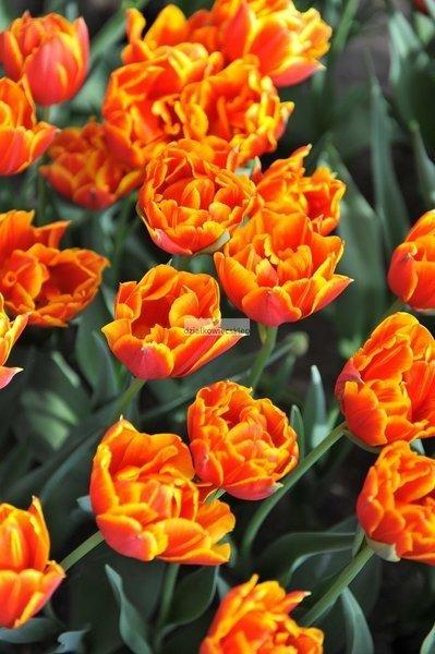 Tulipan pełny-wczesny Crossfire (2 szt.) (Tulip)