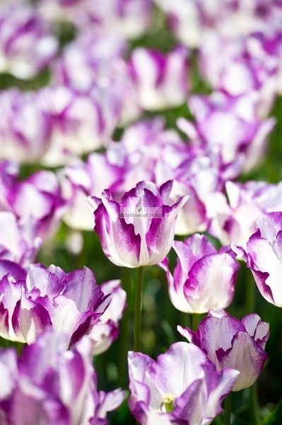 Tulipan triumph Affaire (5 szt.) (Tulip)