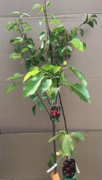Wiśnia - jedno drzewko 2 odmiany!  (Debreceni Botermo + Sabina) - owocowanie VI-VII, VII