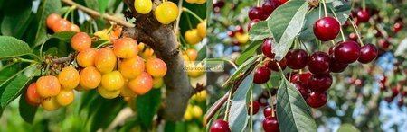 Wiśnia - jedno drzewko 2 odmiany!  (Hortensja+Łutówka)