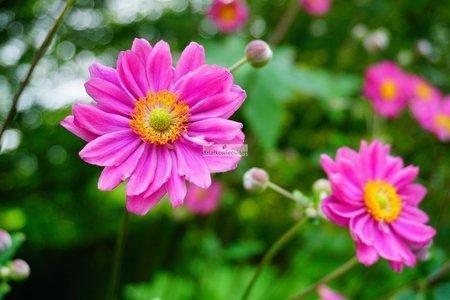 Zawilec mieszańcowy Pamina (Anemone ×hybrida)