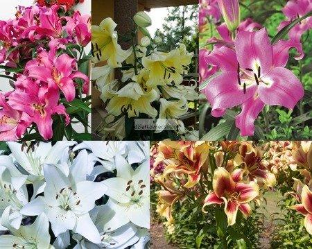 Zestaw lilii drzewiastych- 5 szt.
