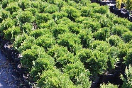 Żywotnik zachodni (Thuia occidentalis) Danica